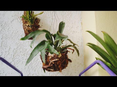 Древесный папоротник Platycerium Платицерум(оленьи рога)-уход.Ссылка на видео о пересадке ниже