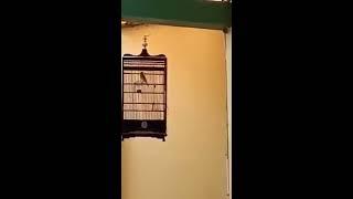 Materan Blaken gacor top suara burung