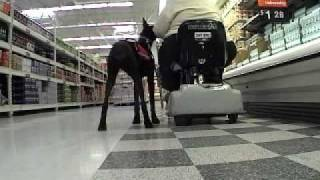 Titan Sevice Dog In Training 4_28.wmv