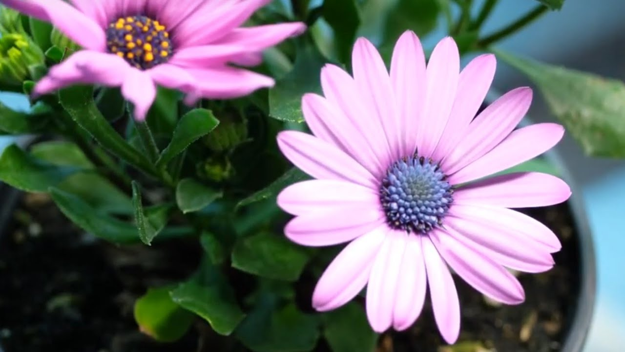 Daisy Flowers Blooming Wiggling Time Lapse Youtube