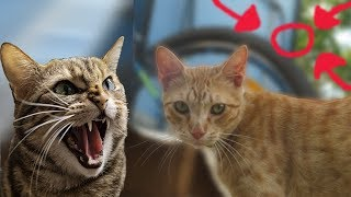 Angry Cat Fight Cousin - Real Cat Fight !