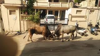 bull fight in Gujarat