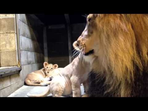 Lion Cubs Meet Dad - Cincinnati Zoo