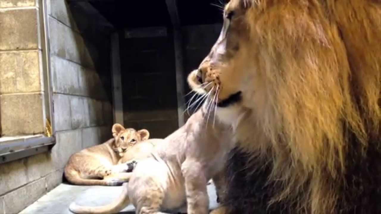 utica zoo lion cubs meet