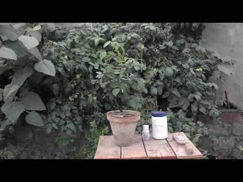 Desi rose image flower - traitement anti paludisme birmanie photos