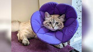 Fabric ECollar  Sad Kitten Wearing Cone | Part 2