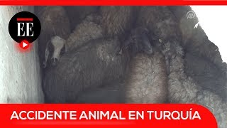 Bomberos rescatan a 37 ovejas que cayeron a un pozo en Turquía   El Espectador