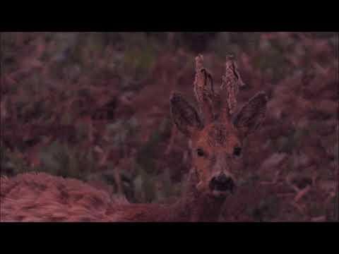 Srnec v době vytloukání - Videolovy - Life in nature