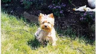 Dogsitting For Casie, The Yorkshire Terrier