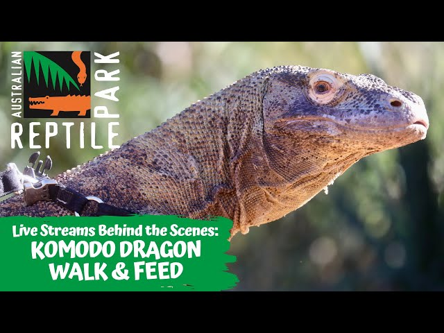 KOMODO DRAGON FEEDING (LIVE FOOTAGE) | AUSTRALIAN REPTILE PARK