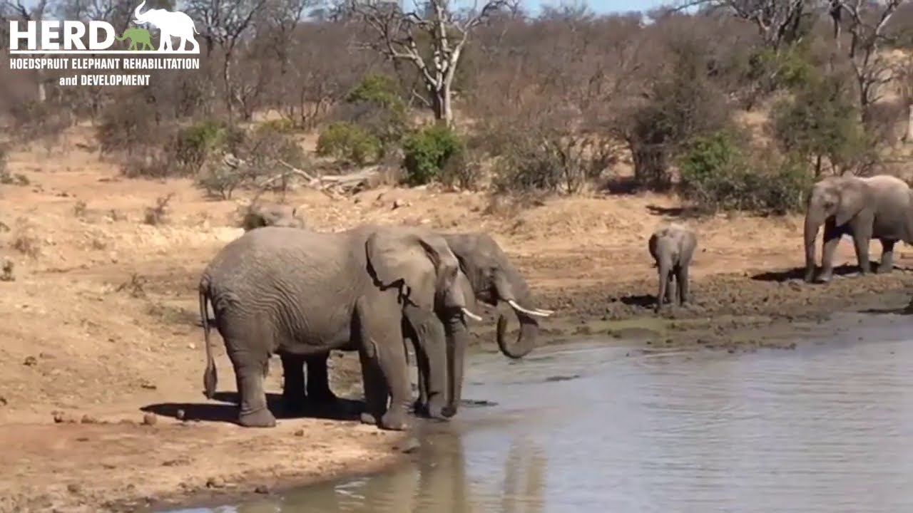 Orphan elephant Khanyisa🐘 & the Jabulani elephant herd go for a midday muddy wallow in the dam