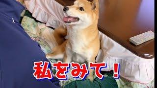 4ヶ月ぶりのお兄ちゃんが好きすぎて行動が乙女な柴犬ハナ -- Shiba loves the boy.--