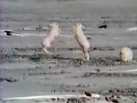 A fight between a male and a female Arctic hare.