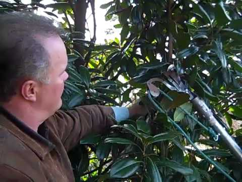 How To Prune Magnolias Youtube