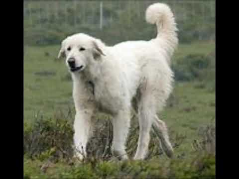 Maremma Sheepdog History And Information