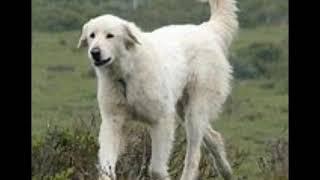 Maremma Sheepdog History And Information