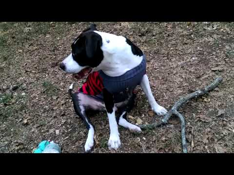 My pitbull's new dog sweater dog clothes