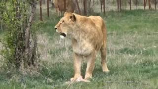 Выпуск львов в сафари парке Тайган