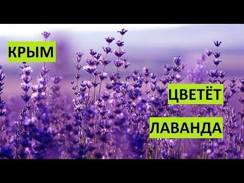 Крым. Зацвела лаванда. thumbnail