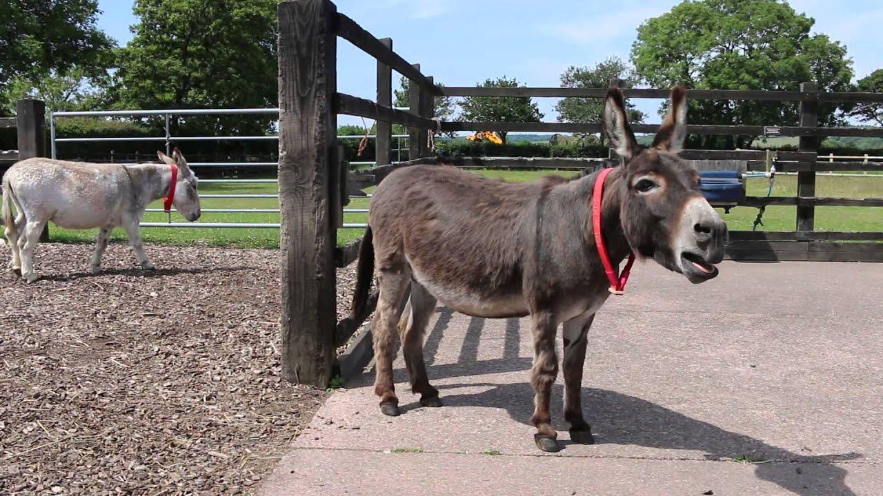 Adoption donkey Gareth practising his singing voice at The Donkey Sanctuary