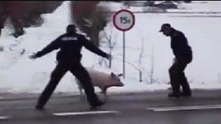 Der Freiheitsdrang der Schweine