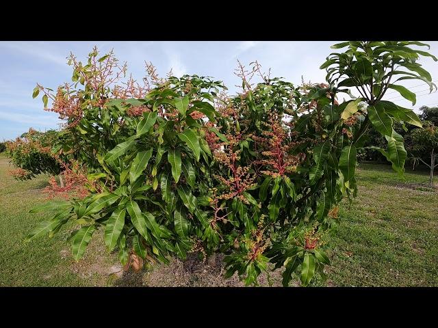 Second Bloom on Mango Trees in Merritt Island.