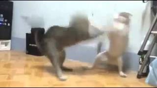 best funny cat fight boxing
