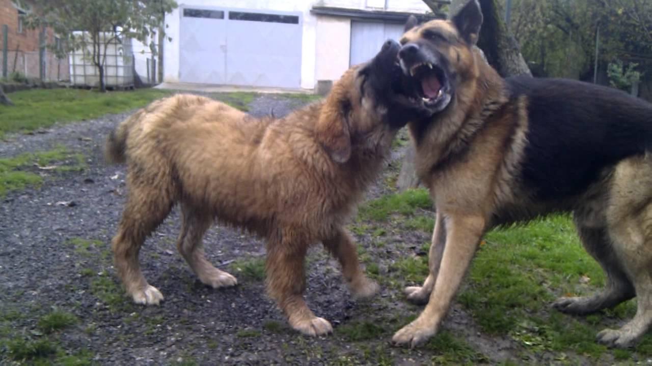 Large German Mountain Dog