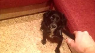 Реакция моей собаки на триммер