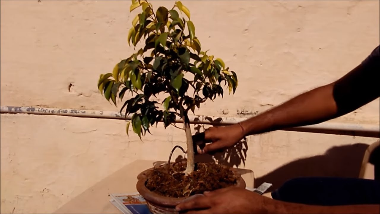 Trimming Of Bonsai Plant Tree And Wiring Tips Tricks Easy Simple Method In Hindi Urdu
