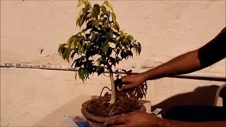 Trimming of bonsai plant/tree and wiring,  tips ,tricks easy and simple method in hindi/urdu