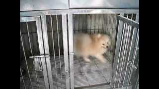 """rambo"" My Pomeranian Stud"