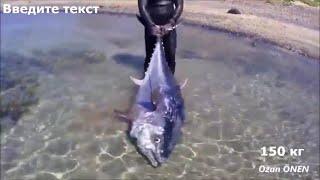 Удивительный тунец 150 кг КАМЕННАЯ ПОДВОДНАЯ ОХОТА