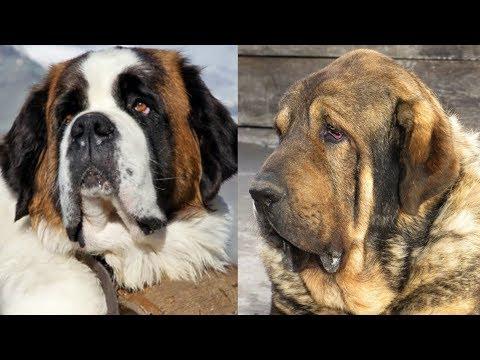 Top 10 razas de perros mas pesados y grandes del mundo