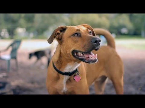 Lab-Pit Bull Mix Chases a Squirrel | The Daily Puppy