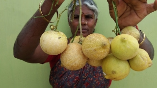Cooking Farm Fresh Citron (Narthangai) Rice in My Village - Food Money Food