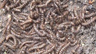 越冬中の気持ち悪い毛虫の集団 ケバエの幼虫 Larvae of feeling bad Bibionidae thumbnail