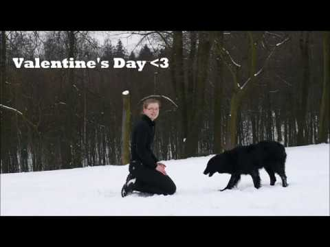 Valentine's Day with Flat Coated Retriever