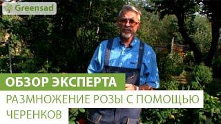 Размножение розы с помощью черенков(, 2014-09-17T07:22:40.000Z)
