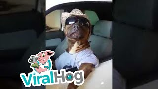 Funny Video: The Coolest Pit Bull Ever