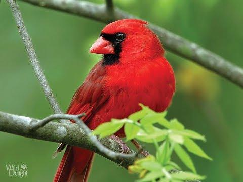Top Most 25 Beautiful Exotic Birds with Bird Sounds- Beautiful Birds -Pretty Birds..