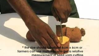 Propagating yam through minisetts