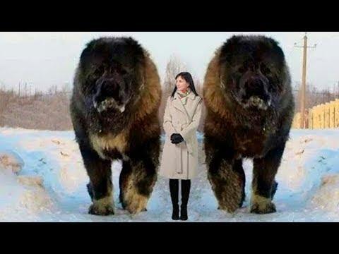 Los 7 Perros M�s Grandes Del Mundo