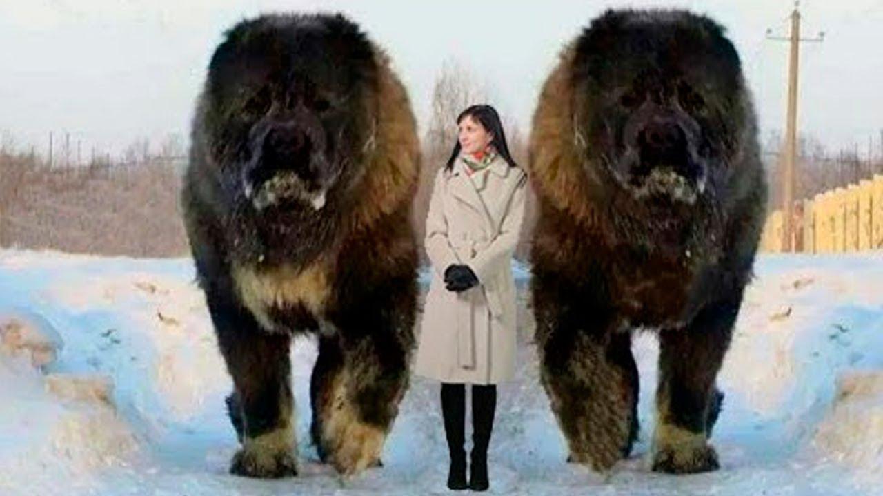 7 Perros Anormalmente Grandes En El Mundo Ver Vídeo Http Quehubocolombia Com 7 Perros Anormalmente Perros Raros Perros Enormes Razas De Perros Gigantes
