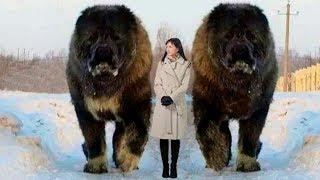 Los 7 Perros Más Grandes Del Mundo