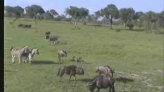 Zebras Chase Baby Wildebeest