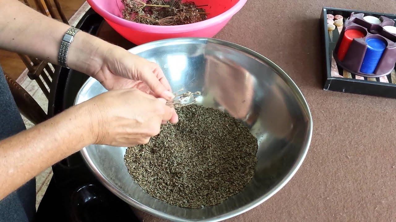 Harvesting fennel seeds - YouTube