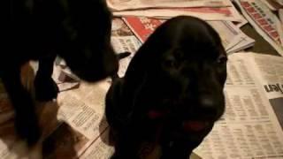 Weimaraner Mix Puppies