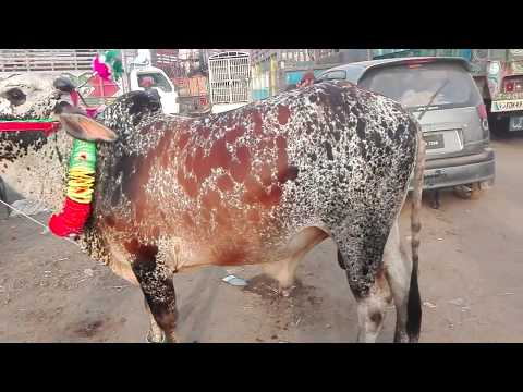 Cow Mandi Shahpur Kanjra - Episode 5 - 2017 - Cows In Lahore Mandi