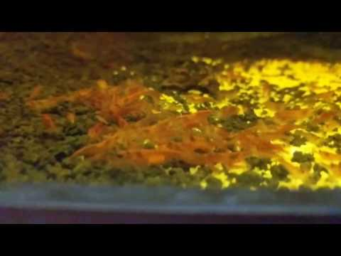 How To Breed Shrimp: Water Changes For A Shrimp Tank - 75 Gallon Cherry Shrimp Tank